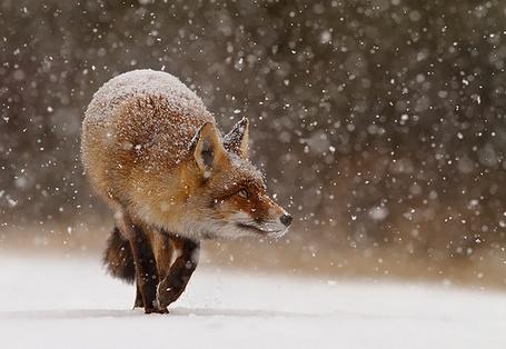 Фото Лиса смотрит вверх, идя под снегопадом