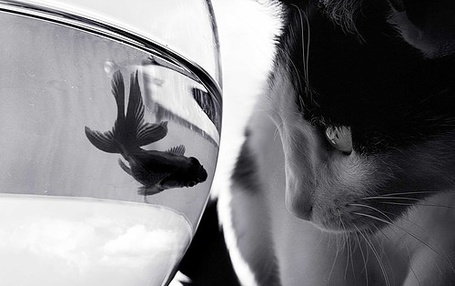 Фото Кот смотрит на рыбку которая плавает в аквариуме (© Black Tide), добавлено: 19.04.2013 01:47