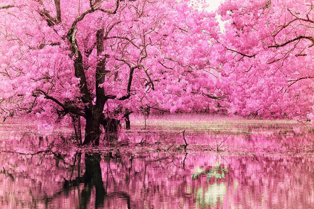 Banco de fotos florescendo, sakura, árvores, sobre, água