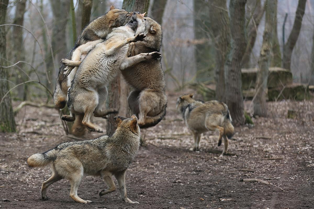 непонятно, картинки волк против стаи состояла том