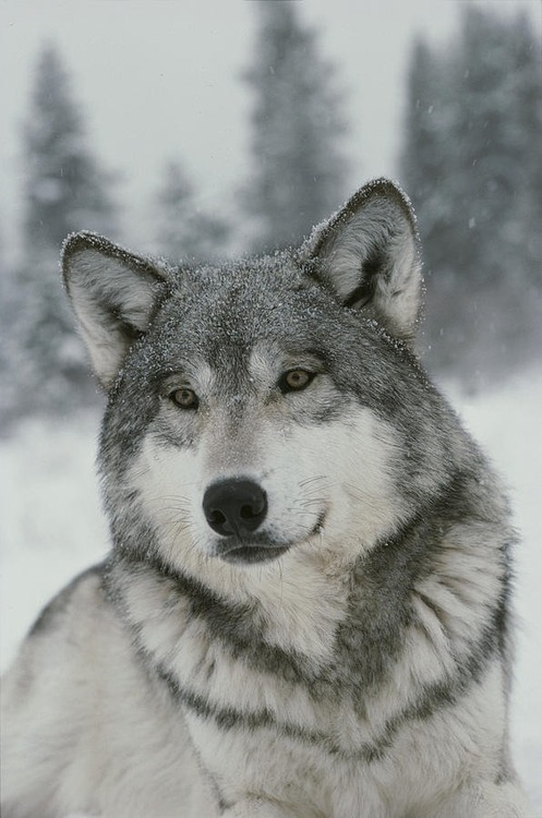 Фото серый волк под снегопадом
