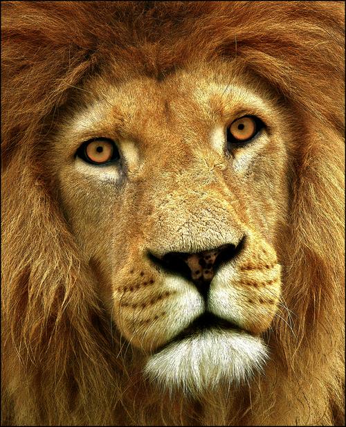 Картинка морда льва