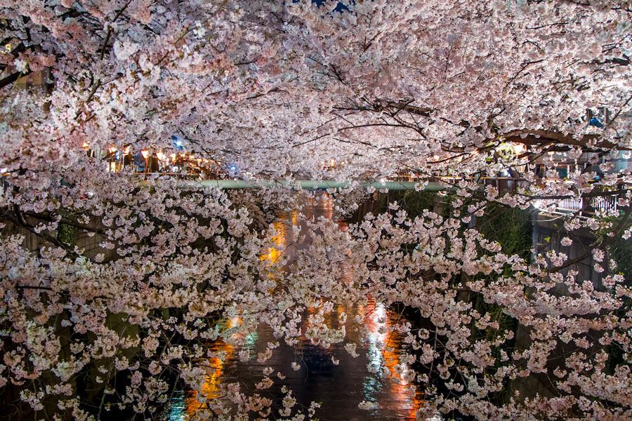 Banco de Imagens Sakura florescendo na primavera, crescendo nas margens de um canal de água, Parque Nacional, Tóquio, Japão / Tóquio, Japão