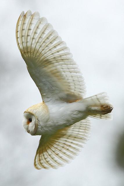 Летящая сова пошаговое - 54f03