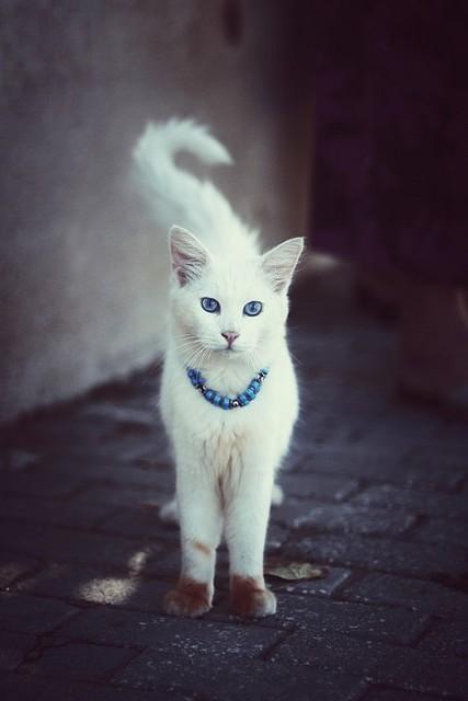Фото Белая кошка с голубыми