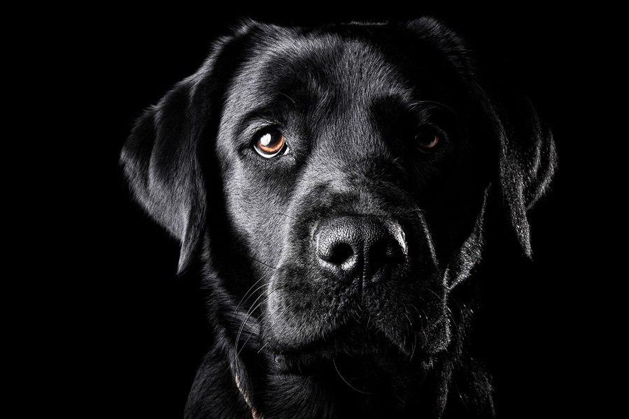 будет обои на телефон собаки лабрадор черный еще
