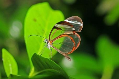 Фото Бабочка с прозрачными крыльями и с коричневым ободком, сидит на зеленом листике