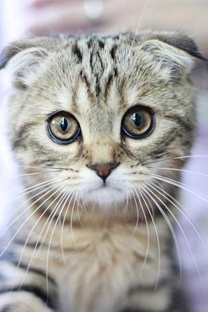 Фото Шотландский вислоухий котенок с большими глазами