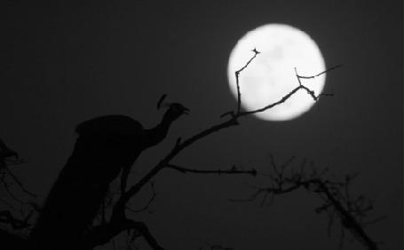 Фото Павлин курлычет сидя на ветке на фоне полной луны