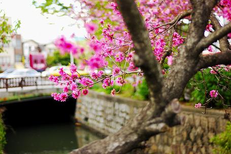 Фото Дерево с розовыми цветами на ветках стоит у реки