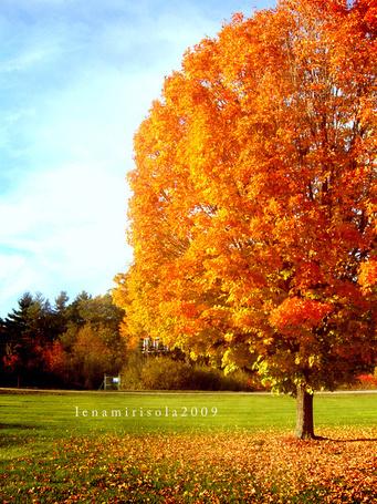 Фото Красивое осеннее дерево на фоне нежно-голубого неба сбрасывает золотистую листву, автор lenamirisola2009 (© Кофе мой друг), добавлено: 07.05.2013 16:09