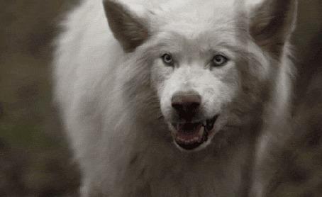 Фото волка и волчицы - 619c