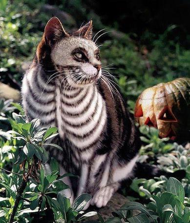 Фото Кот с раскраской в виде скелета на праздник Хэллоуина / Halloween (© RoadKamelot), добавлено: 19.05.2013 11:03