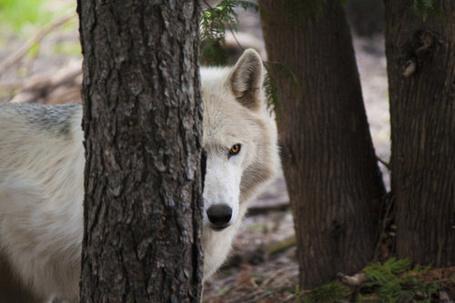 Фото Белый волк выглядывает из-за дерева (© Seona), добавлено: 20.05.2013 20:35