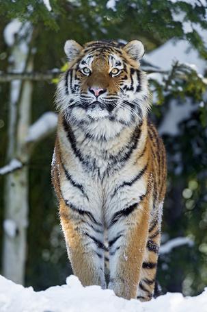 Фото Стоящий на снегу тигр, на фоне деревьев