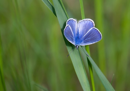 Фото Синяя бабочка с белым ободком на крылышках, сидит на травке