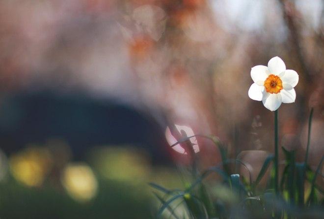 Фото Белый нарцисс в траве