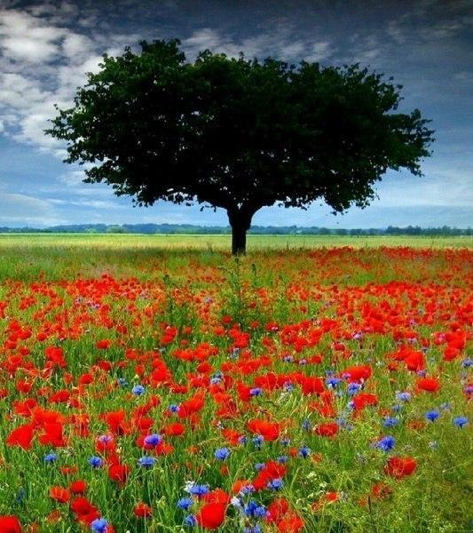 Фото Дерево с большой кроной в поле красных маков и синих ...
