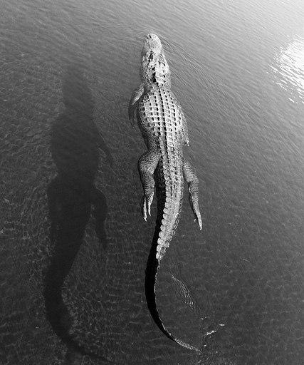Фото Крокодил плавает в воде: http://photo.99px.ru/photos/109660/