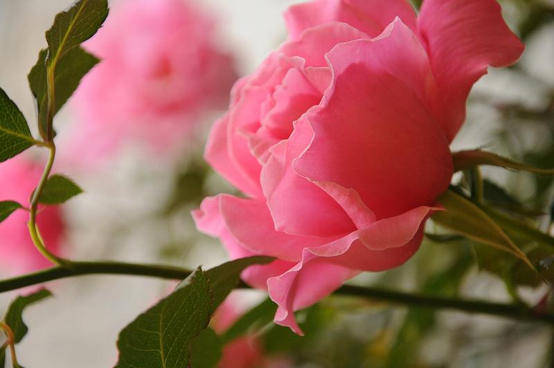 Фото Розовая роза с листьями