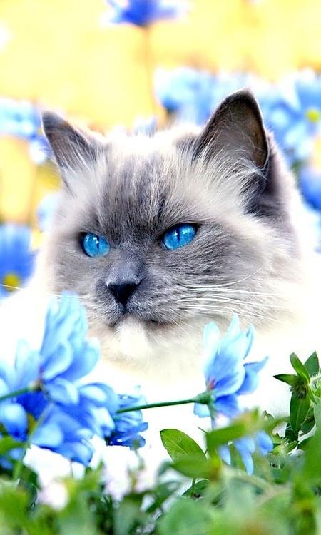 Фото Голубоглазый котенок в голубых цветах