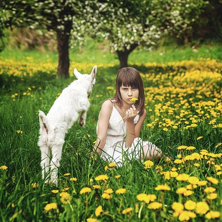 Фото Девочка, сидящая на траве среди желтых одуванчиков, с находящимся рядом с ней белым козленком, фотография Adam Wawrzyniak