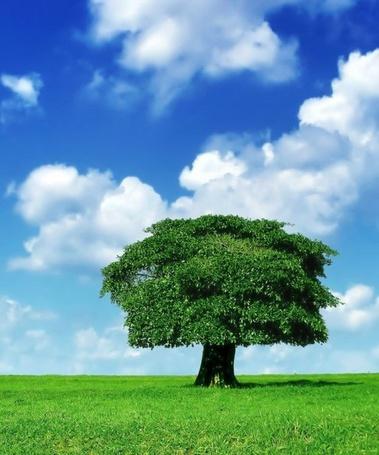 Фото Большое зеленое дерево с громадной кроной в поле под голубым небом с перистыми облаками