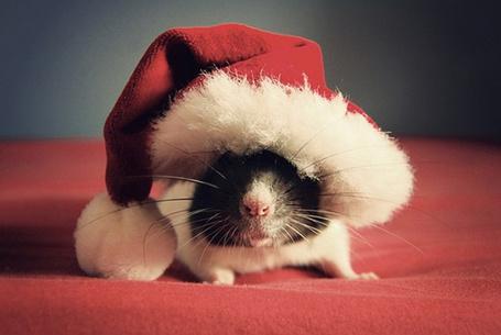 Фото Бело - черная крыса в рождественском колпаке на красной подушке, фотограф Jessica Florence / Джессика Флоренс