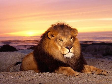 Фото Лев сидит на фоне захода солнца (© ), добавлено: 06.06.2013 21:50