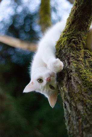 Фото Белый котенок на дереве, смотрит на нас вверх тормашками