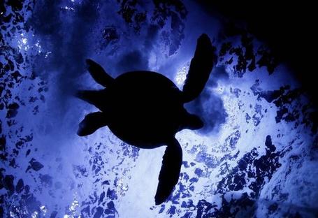 Фото Зеленая черепаха плавает в аквариуме в Tokyo, Japan / Токио, Япония, фотограф Kimimasa Mayama / Кимимаса Маяма (© ), добавлено: 07.06.2013 15:29