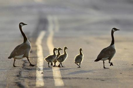 Фото Гуси гордо переходят дорогу на закате дня, Восточный Рутерфорд, штат Нью-Джерси / Rutherford, NJ, фотограф Mel Evans / Мэл Эванс (© ), добавлено: 07.06.2013 18:22