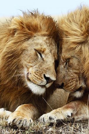 Лев целует львицу