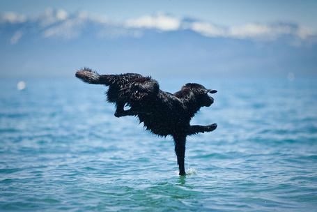 Фото Черная собака прыгает в воду