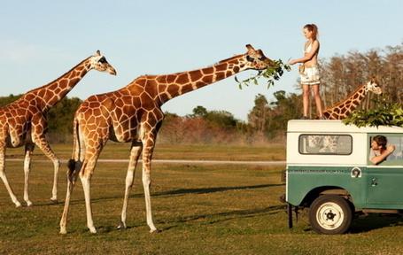 Фото Девушка стоит на машине, кормя жирафа ветками с дерева