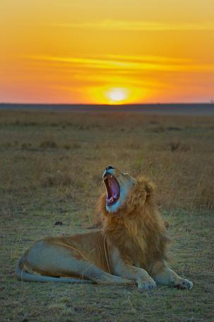 Фото Зевающий лев на фоне заката
