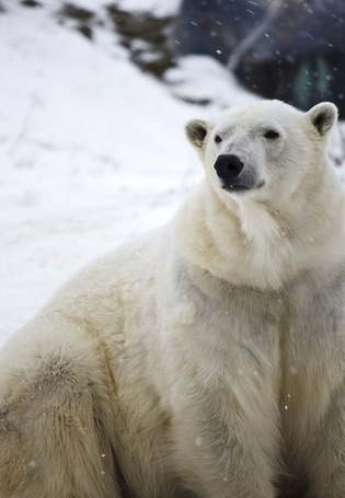 Фото Полярный медведь под снегопадом