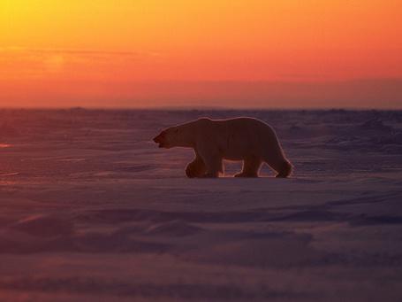 Фото Полярный медведь идет по снегу на фоне заката