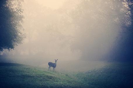 Фото Олень на поляне в туманном лесу