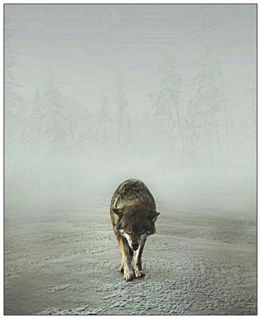 Фото Идущий на фоне тумана, скалящийся волк