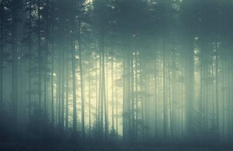 Фото Лес с высокими деревьями в тумане