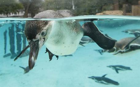 Фото Пингвин в Лондонском зоопарке / London, England, фотограф Suzanne Plunkett / Сюзанна Планкетт (© ), добавлено: 26.06.2013 20:08