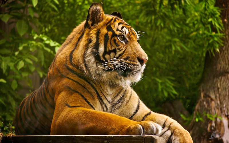 Фото Тигр лежит на фоне деревьев