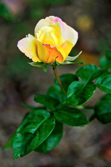 Фото Желтая роза с листочками
