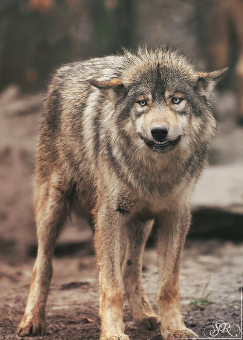происходящее смешные картинки с волками лавром