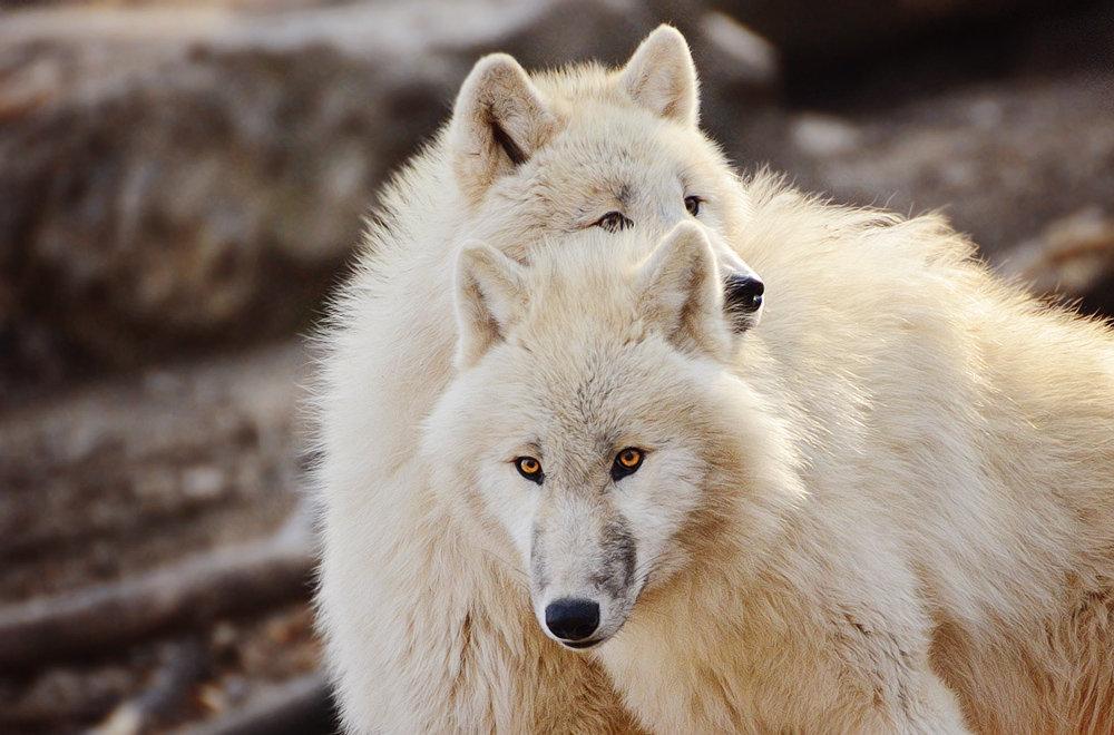 сегодня белые волки пара картинки после