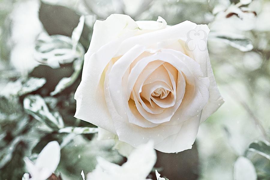 Картинки белая роза на снегу, открытки елочки винтажные