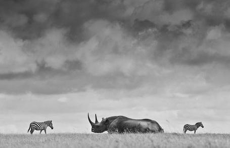 Фото Черный носорог и зебры в Кении / Kenya, фотограф Robin Moore / Робин Мур