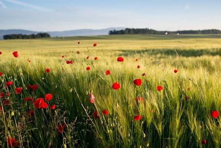 Фото Красные маки в поле, Улан-Су-Эшален, Швейцария / Ulan-Sioux Eshaliev, Switzerland, фотограф Bertrand Monney / Бертран Монни