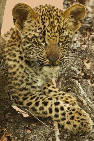 Фото Детеныш леопарда залез на дерево (© Seona), добавлено: 02.07.2013 02:16